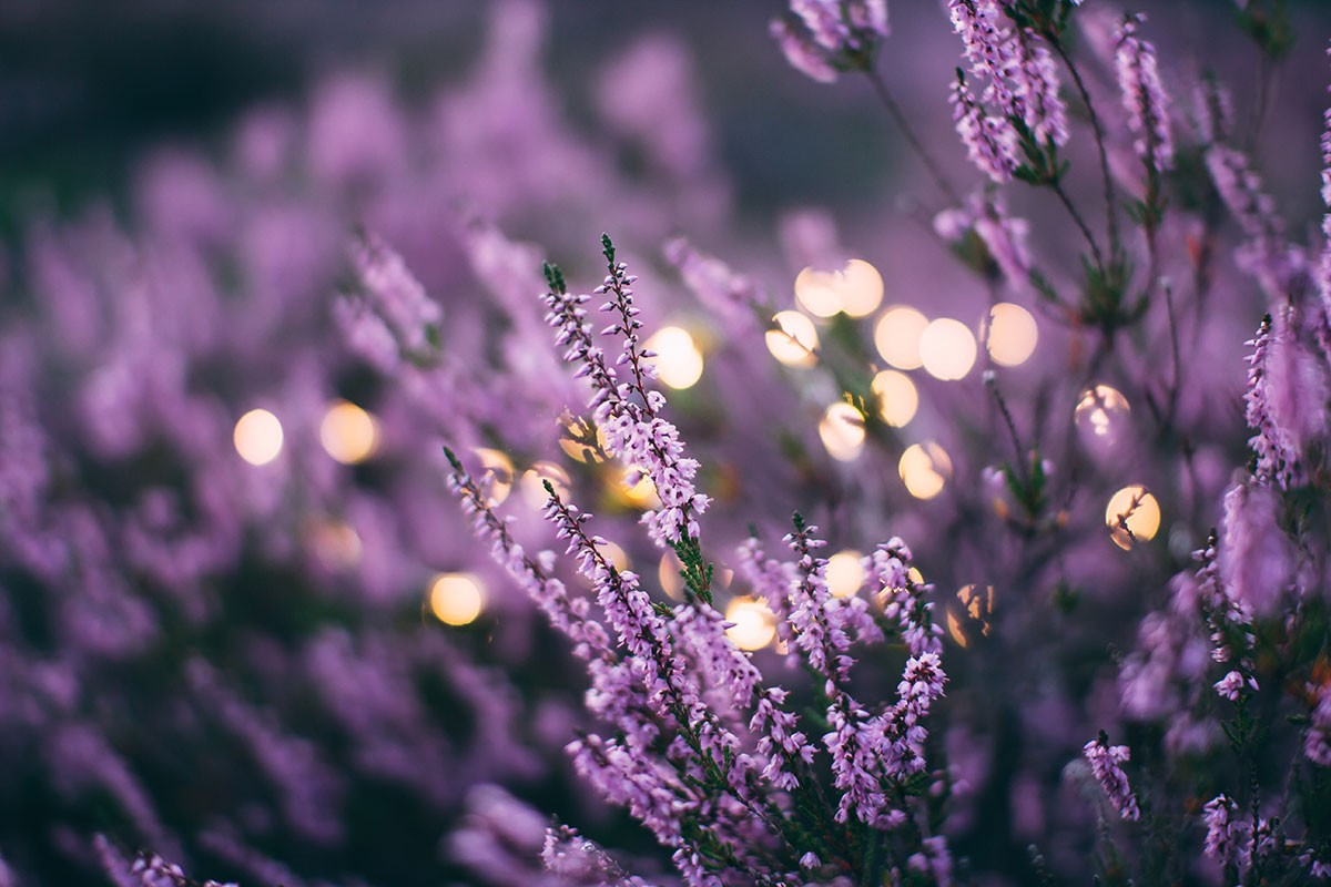 The Healing Power of Lavender